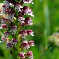 Orchidée du Goupillou ! © Arnaud Galy